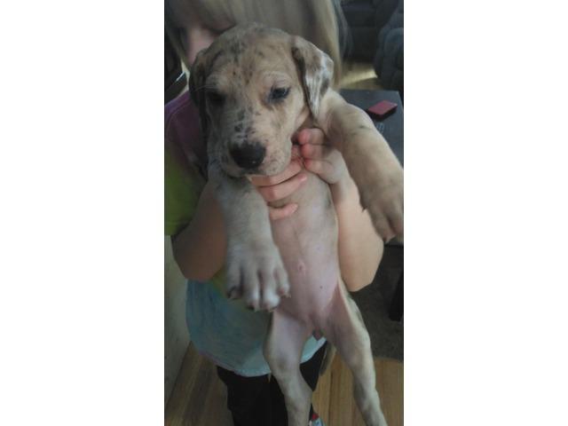 Purebred Great Dane Male Puppy In O
